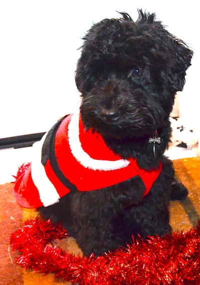 Colour photograph of a small black dog dressed in a  dog santa outfit